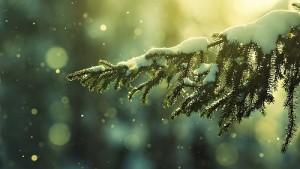 snow,nature,pine,wallnest,wallpaper-8839874ded4cae45d71e12b70709c3e5_h
